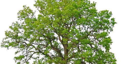 Bedak Bau Keringat Surakarta pohon berkhasiat magis intelligent scholar