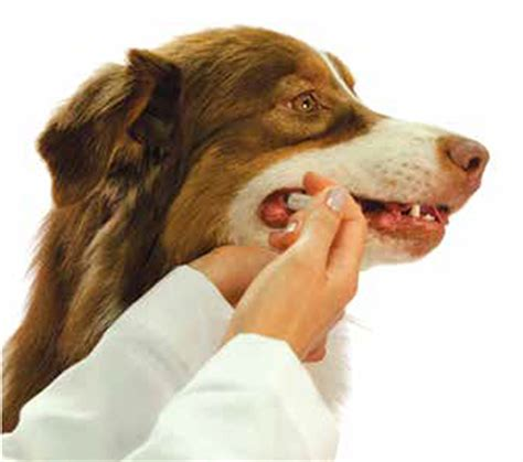 bordetella vaccine dogs the critical of mucosal immunity for protection against bordetella bronchiseptica