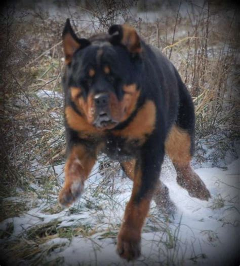 k9 rottweiler akc rottweiler puppies micro chipped k9 guardian farms in hoobly classifieds