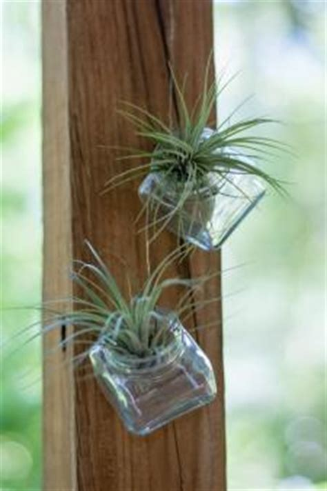 air plant lovetoknow