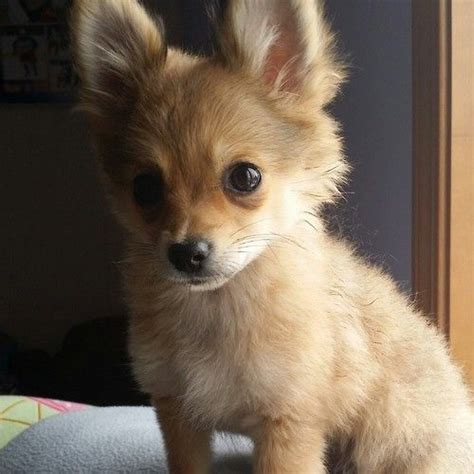 haired chihuahua pomeranian mix puppies 25 best ideas about pomeranian chihuahua on chihuahua puppies chihuahua