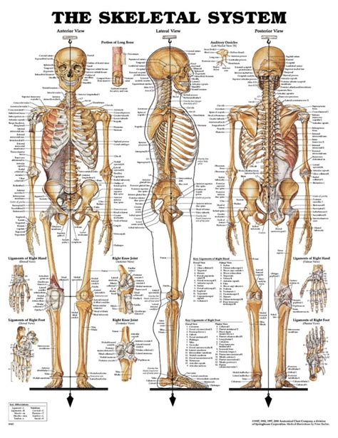 human back diagram skeleton labeled front and back human skeleton diagram
