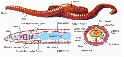 Diagram Respiratory Tract Of Earthworm Human Anatomy Picture Earthworm Morphology Anatomy Concepts Questions And