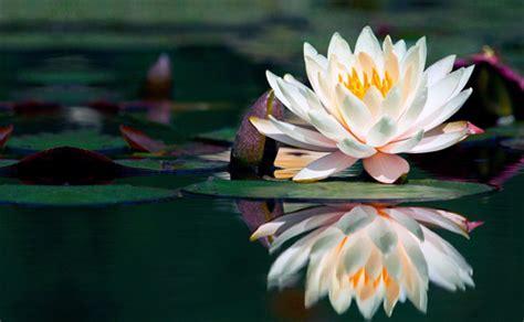 fiore di loto giapponese contemporanee lotofagie goyl 236 goyl 224