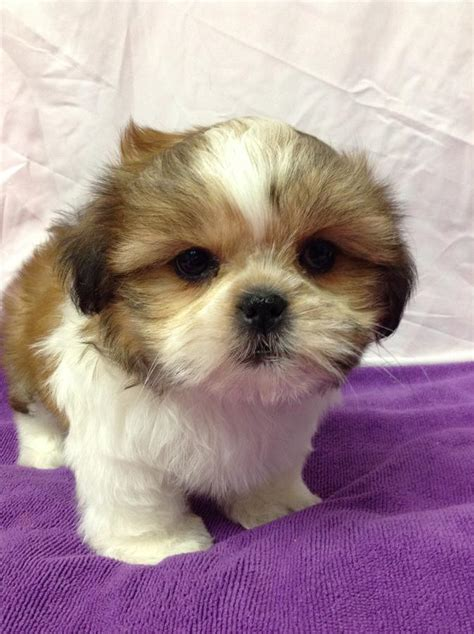 shih tzu puppies brown and white shih tzu puppies brown www pixshark images galleries with a bite