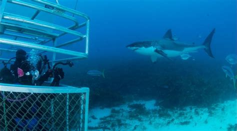 dive shark great white shark cage