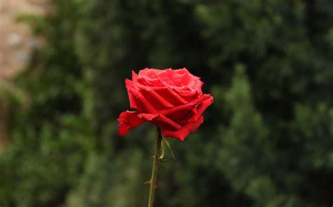 imagenes rosas con espinas las rosas tambi 233 n tienen espinas alfa y omega