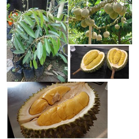 jual bibit durian musang king 40 cm hp 0856 0856 6034