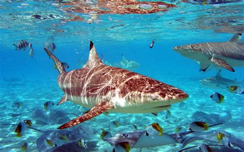 desktop themes meaning wallpapers sharks desktop wallpapers