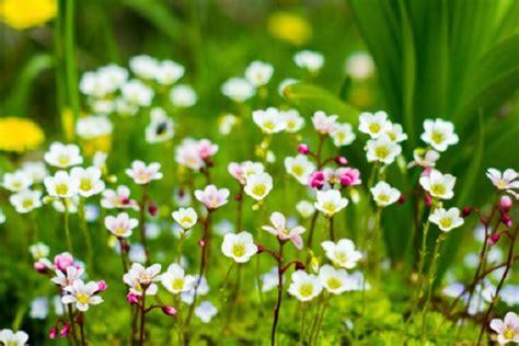fiori autunnali fiori autunnali poco comuni sassifraga agnocasto