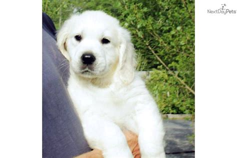 golden retriever breeders ma massachusetts dogs for sale puppies cats kittens pets for sale