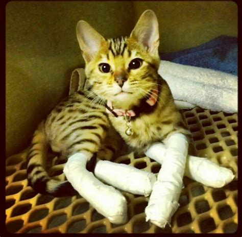 can you declaw a declawing is just a terrible thing to do to your cat