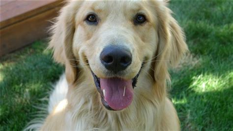 boulder golden retrievers golden retrievers key to lifetime cancer study
