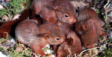wann bekommen wildschweine junge das eichh 246 rnchen h 214 rzu