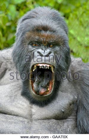 open wide see how a gorilla visits the dentist abc news mountain gorilla with mouth wide open showing teeth stock