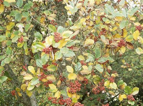 fruit tree nursery oregon sorbus landscape plants oregon state