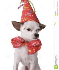 chihuahua in a birthday hat stock image image 256931