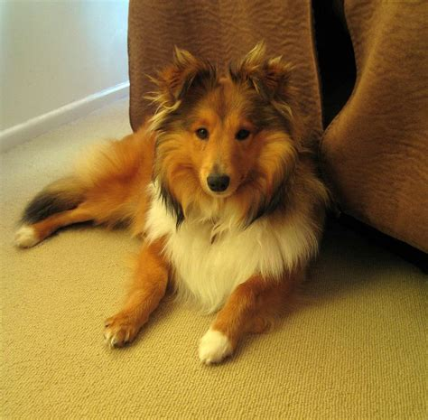mini collie 17 best images about mini collies on sheep dogs awesome things and