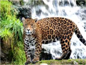 Jaguar Information And Facts Image Gallery Jaguar Animal Habitat Information