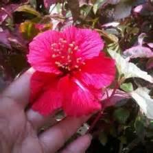 Hibiscus Putih Tumpuk 20 40cm tanaman kaca piring cape bibitbunga