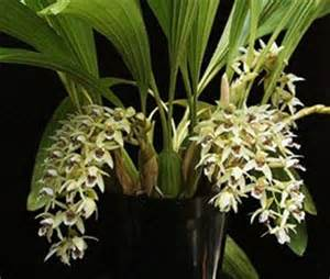 coelogyne asperata presented by orchids limited
