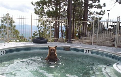 bear in a bathtub bears in hot tubs yes and loving it