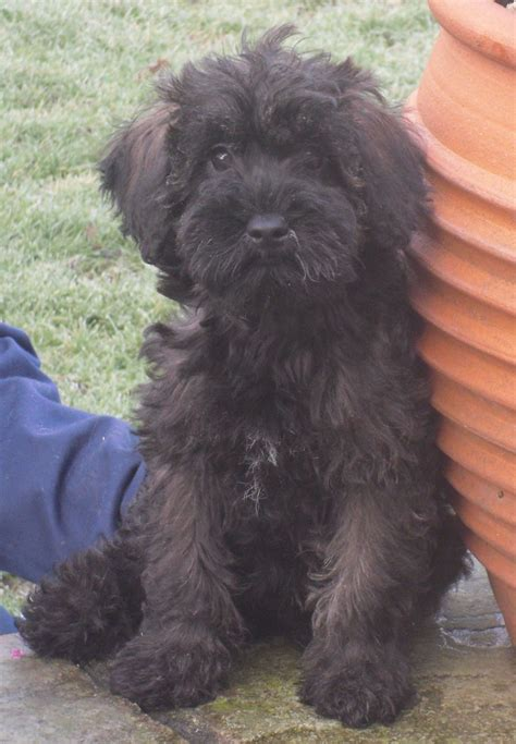 schnoodle puppies for sale in nc schnoodle puppies for sale breeds picture