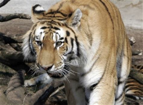 tiger denmark man mauled to death in tiger attack at danish zoo