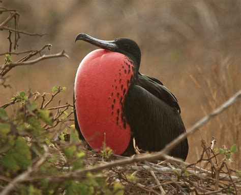 File:Fregata magnificens -Galapagos, Ecuador -male-8 (1 ...