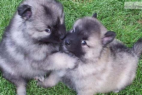 keeshond puppies keeshond puppy for sale near athens fff171f7 6641