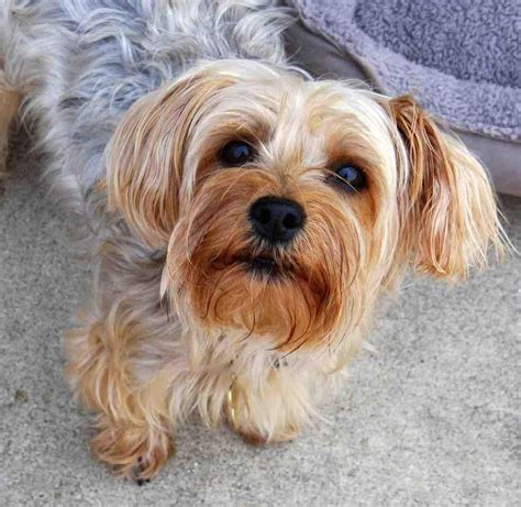 are yorkies dogs yorkie wallpapers android apps on play