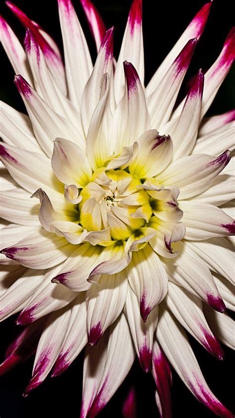 white  purple flower iphone wallpaper idrop news