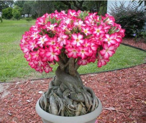adenium obesum desert rose hybrid seeds indoor plant