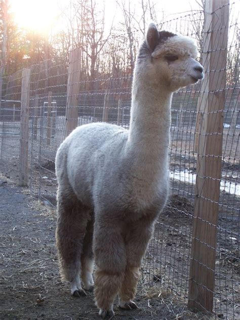 Tas Import Tb89956 Gray Tb alpaca herdsires costalota s falco huacaya
