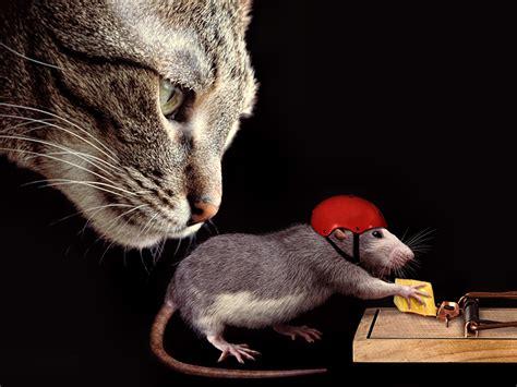 wallpaper chat humour fonds d ecran 1024x768 chat domestique rattus fromage