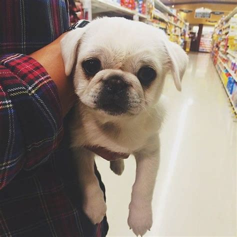 all white pugs the 25 best white pug ideas on pugs pug puppies and pugs