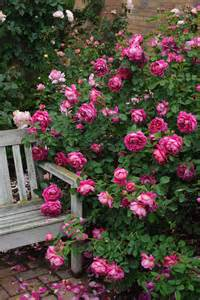 David Patio Roses by Pruning Roses During Winter Hgtv