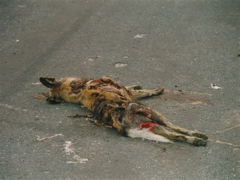 3d Roadkill Dog | file lycaon pictus roadkill jpg