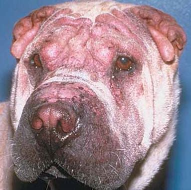skin rashes on dogs an overview of canine skin rashes and treatment options available