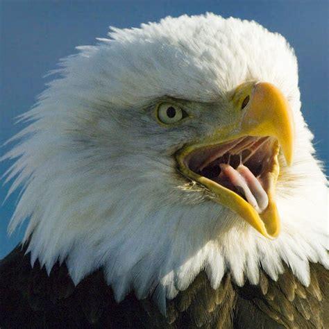 Burung Elang 3d 40 lebih foto burung elang keren