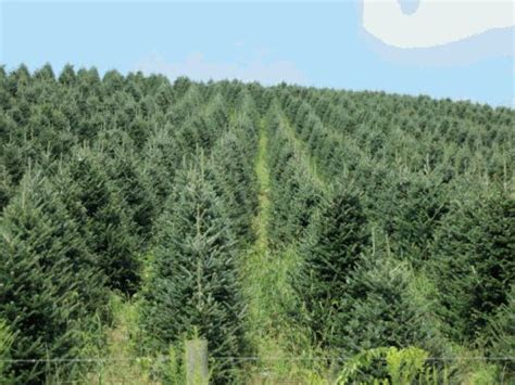 bickerstaff trees sparta nc nc choose cut christmas