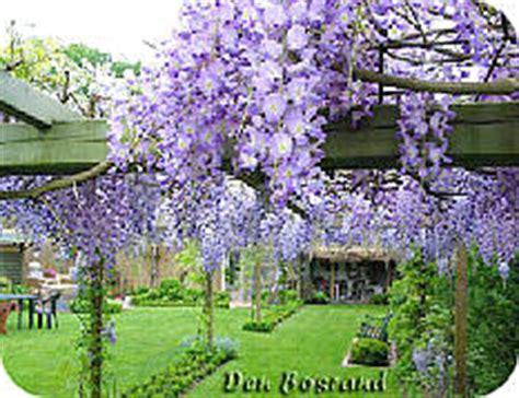 blauwe regen snoeien zomer blauwe regen snoeien wisteria werkwijze uitleg en foto s