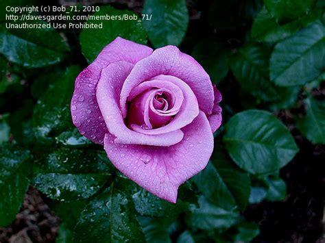 barbra streisand the rose plantfiles pictures hybrid tea rose barbra streisand