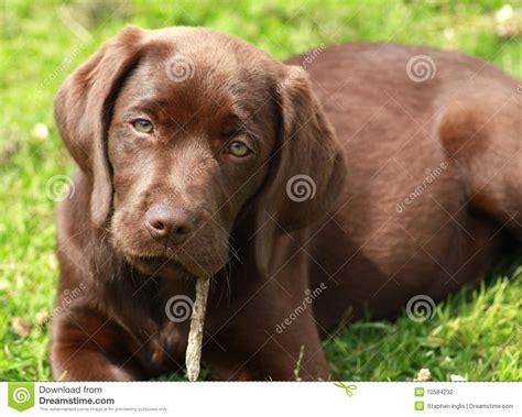 brown labrador puppy brown labrador puppy stock photography image 10584232