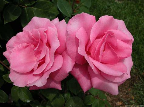 imagenes a rosas fotos de rosas 120 fotos de calidad 1024 x 768