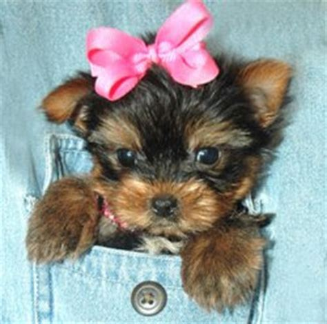 why do yorkies all the time miniature terrier yorkie humor