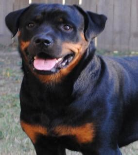 rottweiler puppies for sale lubbock tx rottweiler kennel houston tx photo
