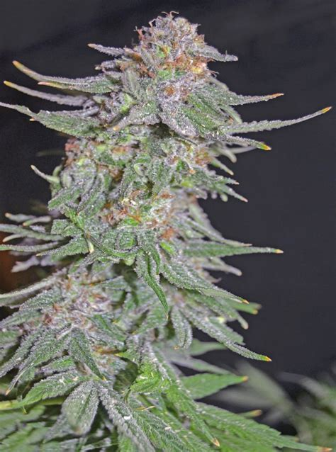 x strain seeds white widow x ak early version from greenbud seeds