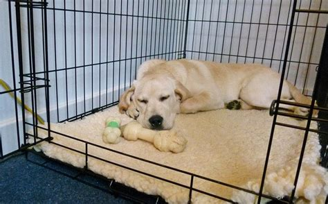 how can a puppy stay in a crate crate tips tricks and vet s advices