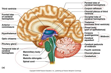 diagram of a brain https www blank html anatomy